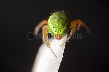 Cucumber Green Spider on white petal - France