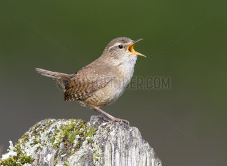 Wren (Troglodytes troglodytes) Wren perched on a post and displaying  England Spring