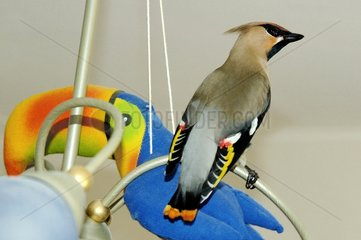 Bohemian Waxwing weakened collected and nourished