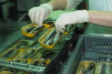 Mise en boîte de sardines dans une conserverie Bretagne