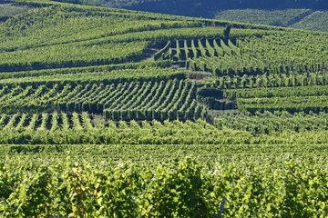 Vineyard at spring  Colmar  Alsace  France