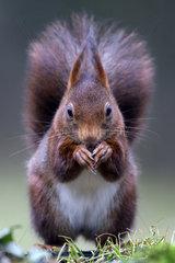 Red squirrel (Sciurus vulgaris) feeding on ground  Lorraine  France