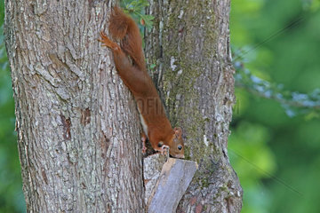 Red squirrel (Sciurus vulgaris) looking for a nut on a trunk  Normandy  France