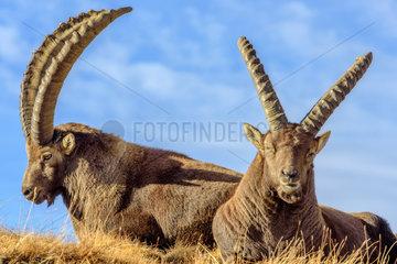 Ibex (Capra ibex) males ruminating  Haute Maurienne  Vanoise  Alps  France