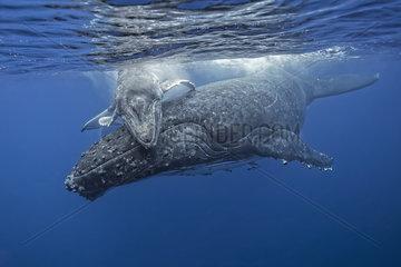 Young Humpback whale (Megaptera novaeangliae) giving her mother a hug  Kingdom of Tonga