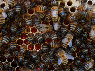 Italian bee (Apis mellifera ligustica) - The pillaging of honey by bees. During harsh and dry seasons  it sometimes happens that the weaker colonies are looted by the stronger colonies.
