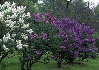 Common lilacs in bloom in a garden