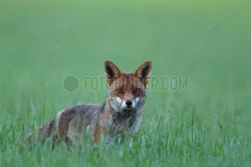Red fox in the grass in the evening - Betagne France