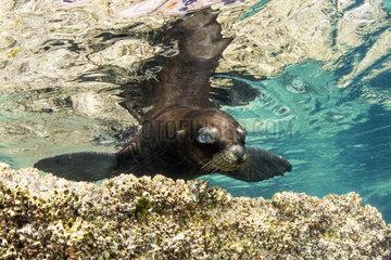 Juvenile of California sea lion  (Zalophus californianus)  Los Islotes  Sea of Cortez  Baja California  Mexico  East Pacific Ocean