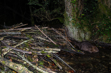 European beaver (Castor fiber) in the night on its dam  on a backwater of River Ain  France  Ain (01)