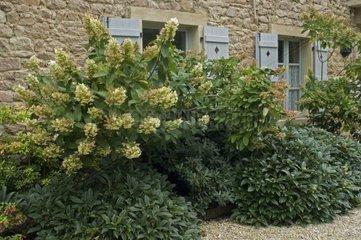 Hortensia 'Anabelle' en fleur et banc de jardin