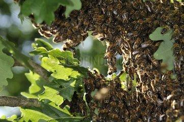 Bee's swarm on a oak