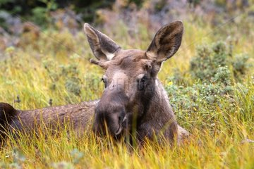 Young Male Moose lying down in tundra Anchorage Alaska