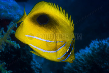 Bluelashed butterflyfish (Chaetodon bennetti)  Mayotte