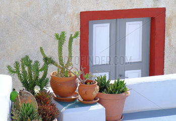 Succulent plants and painted door in background  decoration ambience  Santorini Island  Cyclades  Greece