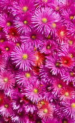 Pink flowers in a patio - Peninsula Valdes Argentina