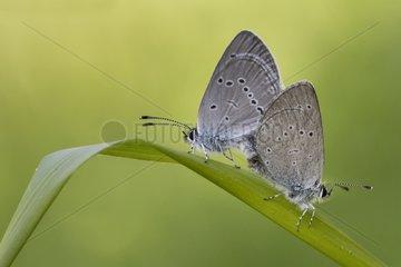 Small Blue mating on a leaf - Serra do Courel Spain