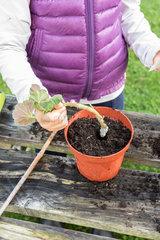 Little girl making cutting from pelargonium