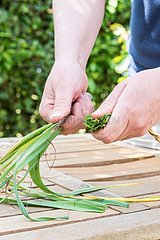 Preparation of the winter leek plants for transplanting