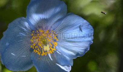 Blue Poppy (Meconopsis betonicifolia)  Botanical Garden of the Col du Lautaret  Serre-Chevalier  Alps  France