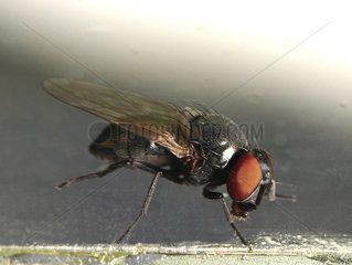 Mediterranean black fig fly (Silba adipata)