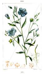 Botanical drawing of cultivated flax