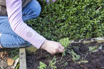 Young girl weeding a square foot kitchen garden