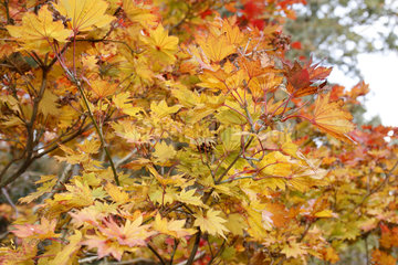 Fullmoon maple (Acer shirasawanum) 'Aureum' in Fall  Parc Floral de Paris 12e  France