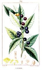 Botanical drawing of sweet bay