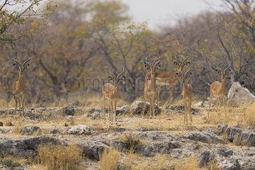 Back-faced impala (Aepyceros melampus petersi)  Namibia  Etosha national Park