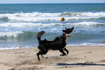 Border Collie playing on a beach