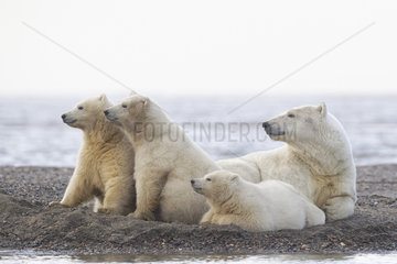 Polar bear (Ursus maritimus) female and young at rest on the shore  Barter Island  Northern Arctic Circle  Alaska.