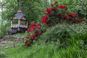 Rhododendron in bloom and garden shed