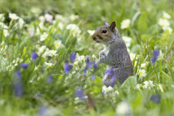 Gray squirrel (Sciurus carolinensis) Grey squirrel amongst floqers  England   Spring