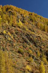 Colors of the woods near Saint-Etienne de Tinee  Haute Tinee valley in autumn  Mercantour  Alpes France