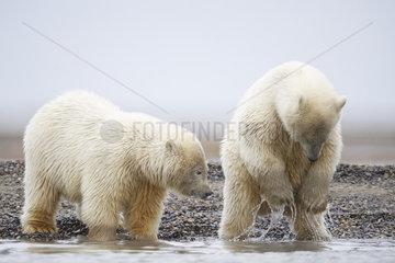 Polar bear (Ursus maritimus) young playing in water  Barter Island  North of the Arctic Circle  Alaska.