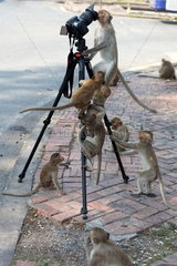 Long-tailed Macaque (Macaca fascicularis) 'photographers'  Thailand