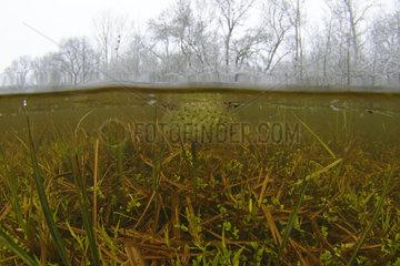 Eggs of Agile frog (Rana dalmatina) in a pond of the Prairies du Fouzon  Loir et Cher  France
