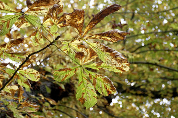 Horse-chestnut leaves parasitised by the horse-chestnut leaf miner (Cameraria ohridella) in the park of Madame Elisabeth domain in Versailles  France