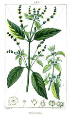 Botanical drawing of annual mercury