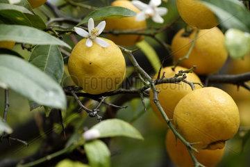 Lemon and lemon flower