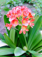 Clivia in bloom  a kind of flowering plant native to southern Africa of the family Amaryllidaceae. Dordogne  France