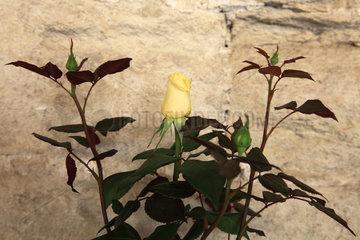 Rose-tree 'Meibarbaru' in bloom