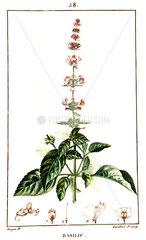 Botanical drawing of basil