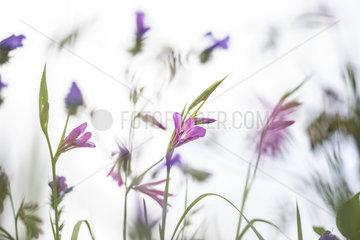 Marsh Gladiolus (Gladiolus palustris) flowers on white background