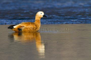 Ruddy Shelduck wading - Guadarrama Espagne