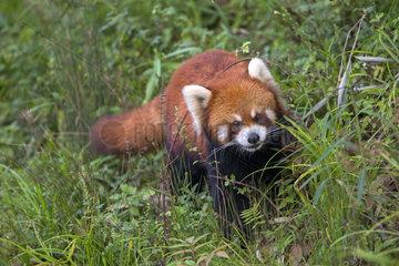 Red Panda (Ailurus fulgens) on ground  Research Base of Giant Panda Breeding or Chengdu Panda Base  Sichuan  China