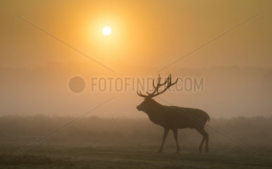 Stag Red Deer standing in the morning mist in autumn - GB