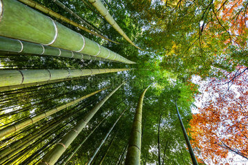 Bamboo 's path in Kyoto  Japan