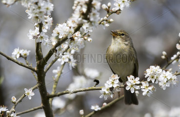 Chiffchaff displaying on a Blackthorn at spring - GB